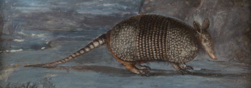 An early George III miniature watercolour on ivory depicting an armadillo